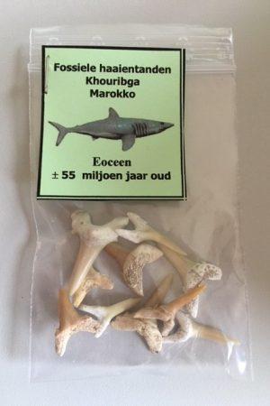 HK0053-fossiele-haaientanden-uit-Marokko-11-gram